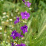Фиолетовые сокирки полевые