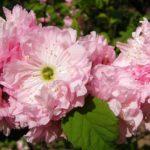 Розовые махровые цветки декоративного миндаля