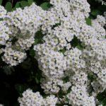 Белоснежные соцветия спиреи на майском кусте. Фото-обои