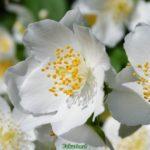 Цветки жасмина крупно, фото-картинка