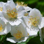 Цветки чубушника вблизи