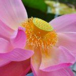 Цветок лотоса орехоносного, или лотоса индийского