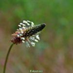 Цветок подорожника ланцетолистного на размытом фоне