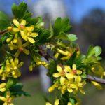 Цветки смородины золотистой