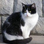 Чёрная кошка с белыми грудкой и лапками