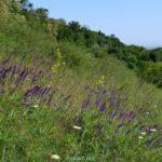 Цветущий шалфей луговой и другие травы на зелёном склоне