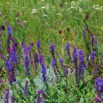 Цветущий шалфей среди полевых трав в июне.