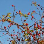 Ярко-красные ягоды шиповника на ветках в морозный зимний день
