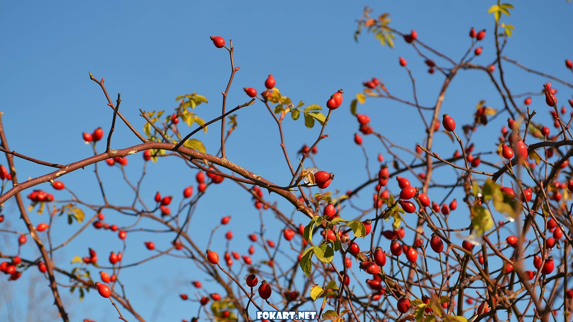 Ярко-красные ягоды шиповника в морозный зимний день