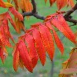Алые листья сумаха осенью