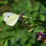 Бабочка репница (Pieris rapae) пьёт нектар из цветка дерезы