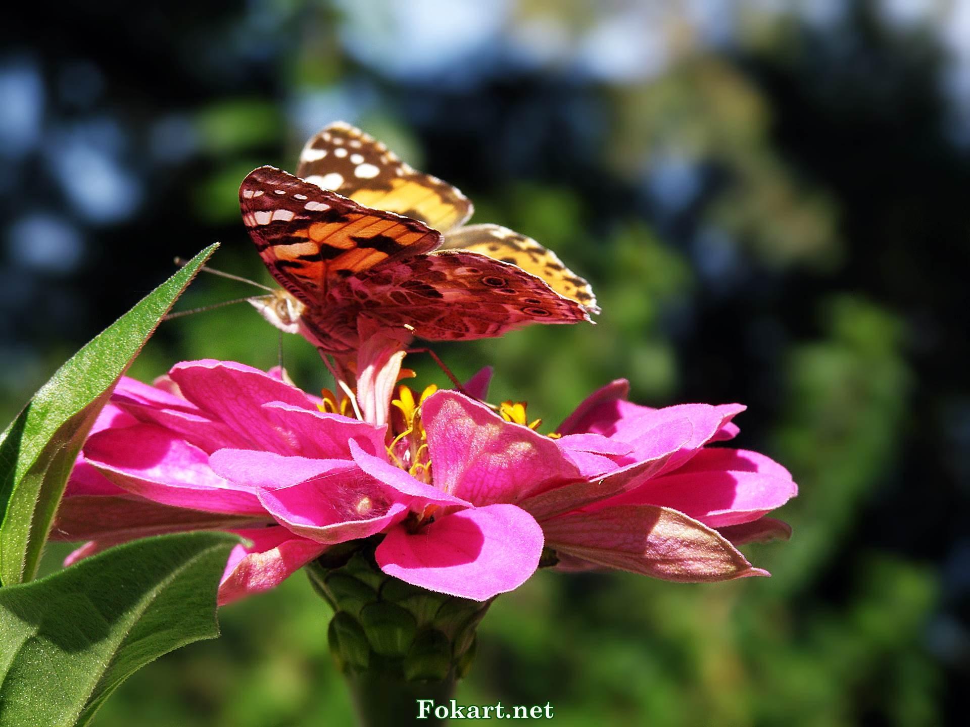 Перламутровка на розовом цветке циннии