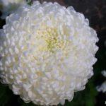 Белая крупноцветковая хризантема шаровидной формы