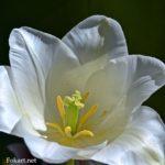 Белый тюльпан вблизи