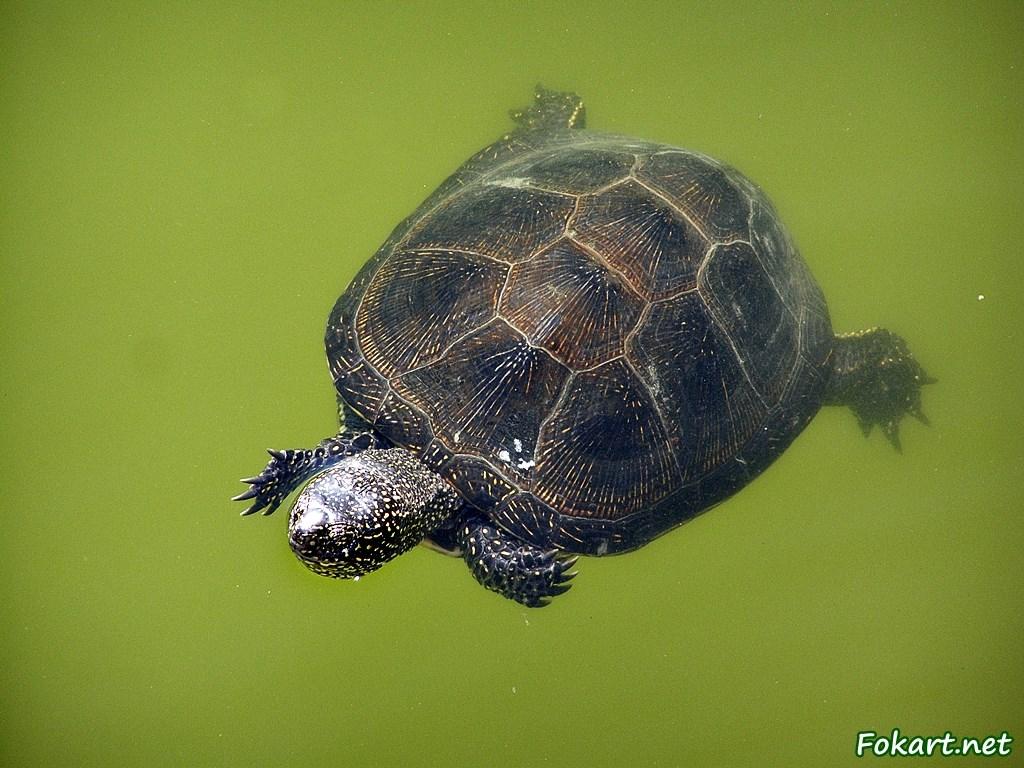 Болотная черепаха (Emus orbicularis) плывет в зеленоватой воде.