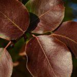 Бордовые осенние листья скумпии