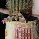Бражник липовый на кактусе