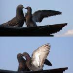 Брачный танец голубей