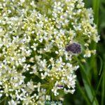 Бронзовка мохнатая (Tropinota hirta), или олёнка мохнатая
