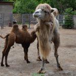 Самка бактриана (двугорбого верблюда) светлой окраски с двух-месячным верблюжонком в вольере зоопарка
