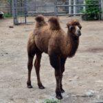 Верблюжонок в вольере зоопарка