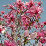Верхушка цветущей магнолии лилиецветной на фоне неба