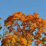 Яркие верхушки осенних деревьев. Посередине - клён.