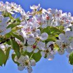 Цветущая ветка вишни и пчела над цветочком