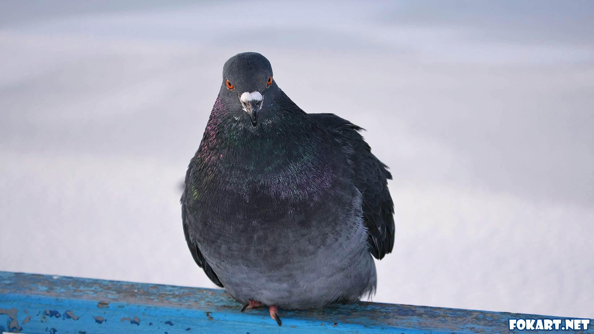 Голубь в морозный день, сидя на перилах, чередует лапки