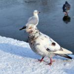 Голубь пёстрой расцветки зимой