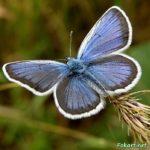 Голубянка икар вблизи