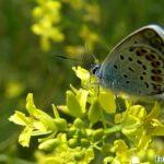 Голубянка икар на жёлтых цветочках