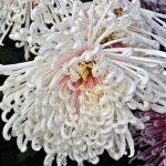 """Белая хризантема """"Грация"""" с утончёнными и закруглёнными лепестками"""