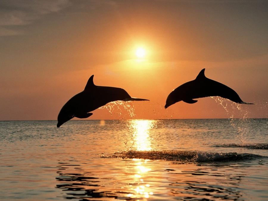 Два дельфина на закате