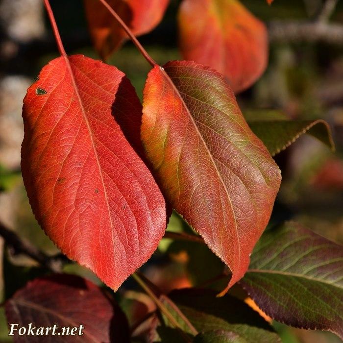 Два осенних листа - красный и многоцветный. Яркие краски осени.