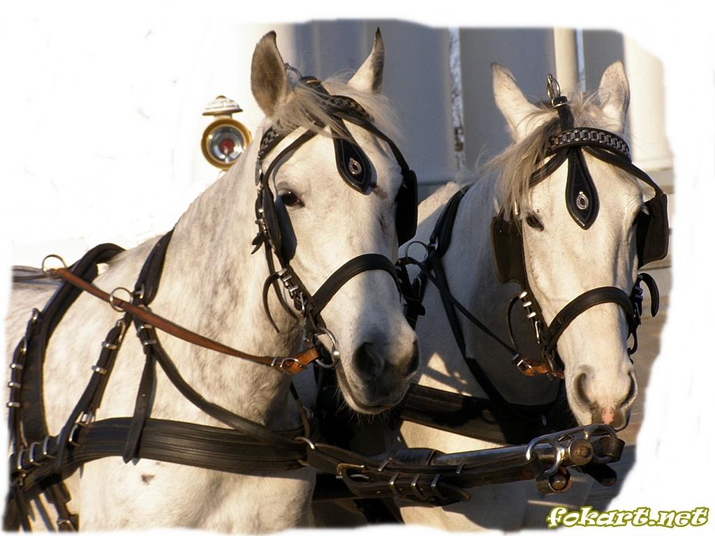 Две светлых лошади вблизи