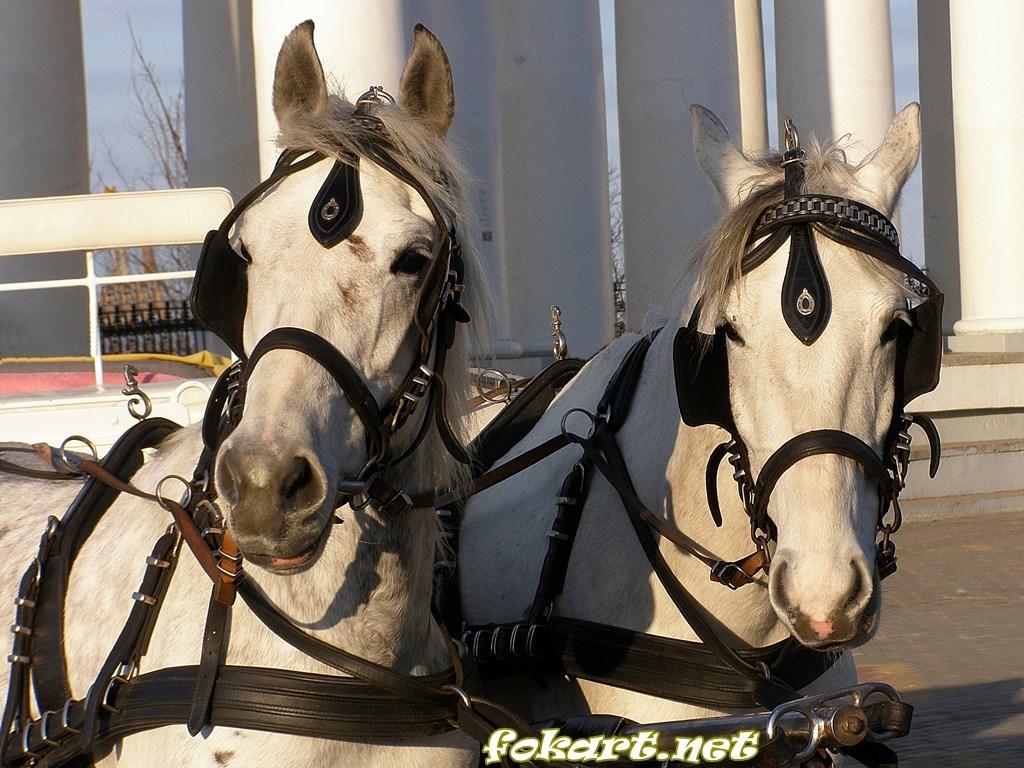 Две светлых лошади в упряжке