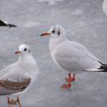 Две чайки на льду замёрзшего у берега моря