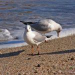 Две чайки на мокром песке у края волны