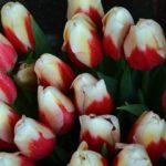 Букет двухцветных, красно-белых тюльпанов