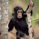 Детеныш шимпанзе лазит по веткам