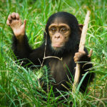 Детеныш шимпанзе в зелёной траве