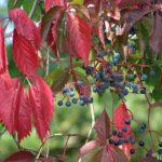 Дикий виноград особенно эффектно смотрится осенью, когда его листья приобретают насыщенный красный и бордовый оттенки, а плоды становятся синими.