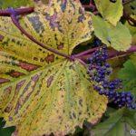 Осенние листья и плоды дикорастущего винограда