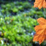 Рыжий лист дуба над ещё зеленоватым ковром травы