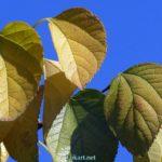 Желтеющие листья крупным планом на фоне синевы неба