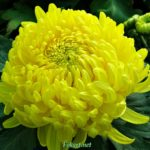Жёлтый цветок хризантемы крупным планом