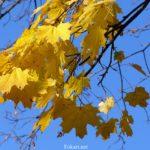 Жёлтые листья клёна на фоне синего неба