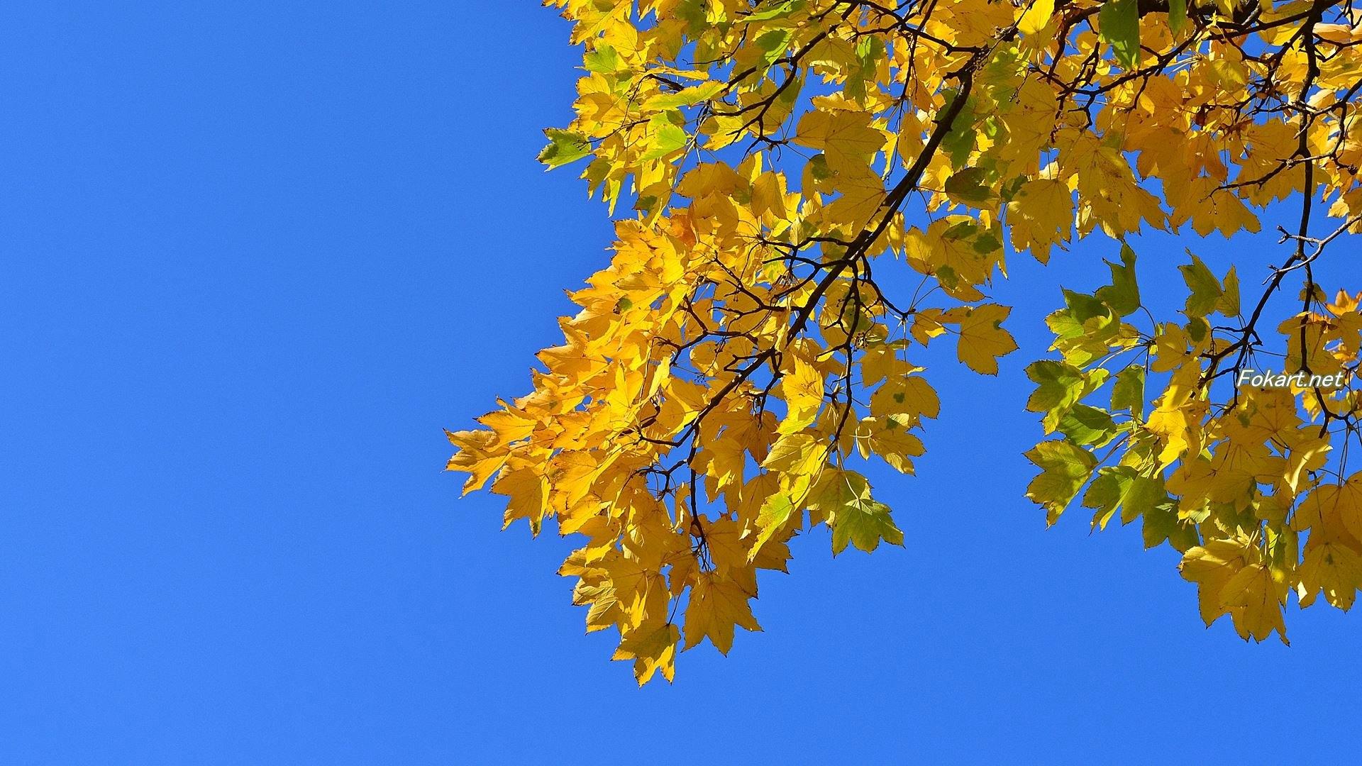 Осенняя кленовая ветка с жёлтыми листьями на фоне синевы неба