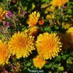 Мелкие жёлтые хризантемы на клумбе ноябрьским утром